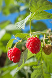 Ripe raspberry. In the garden Stock Image