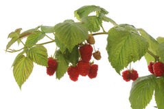 The ripe raspberry Royalty Free Stock Photography