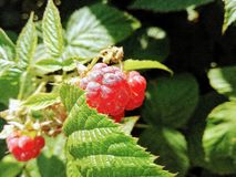 Ripe raspberry berry. In summer royalty free stock photos