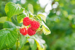 Ripe raspberry on branch. In fruit garden Stock Photography