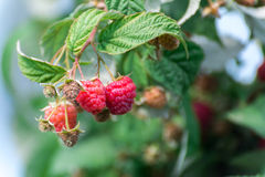 Ripe raspberry on branch Stock Photo