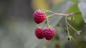 Ripe raspberry branch. Three ripe raspberries hanging on branch by late summer stock footage