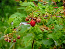 Ripe raspberry. Raspberry bush and berries on it Stock Photos