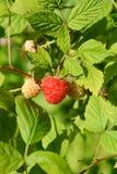 Ripe raspberry on bush. Closeup of Ripe raspberry on bush in the sunshine Royalty Free Stock Image
