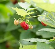 Ripe raspberry on bush on nature. In the park in nature Royalty Free Stock Photography