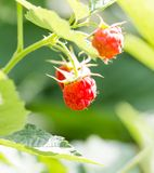 Ripe raspberry on bush on nature. In the park in nature Royalty Free Stock Photo