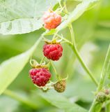 Ripe raspberry on bush on nature. In the park in nature Royalty Free Stock Image