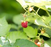Ripe raspberry on bush on nature. In the park in nature Stock Photos