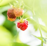 Ripe raspberry on bush on nature. In the park in nature Royalty Free Stock Photos