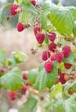 Ripe raspberry. Close-up of the ripe raspberry Stock Photo