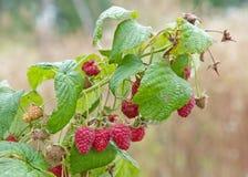 Ripe raspberry. Close up of the ripe raspberry Stock Image