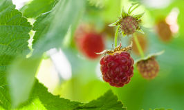 Ripe raspberry close-up. In the fruit garden Stock Photo