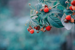 Ripe raspberry. Close-up of the ripe raspberry in the fruit garden Stock Photography