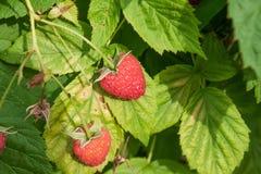 Ripe raspberry Stock Photography
