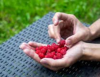 Ripe raspberry in female hand. Handful of ripe raspberry filled in a female hand on table in the garden Royalty Free Stock Images