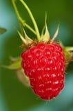 Ripe raspberry Stock Photos
