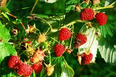 Ripe raspberry in the fruit garden Royalty Free Stock Image