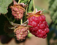 Ripe raspberry in the fruit garden royalty free stock photo