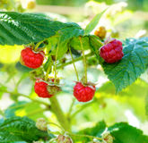 Ripe raspberry on fruit garden Royalty Free Stock Photo