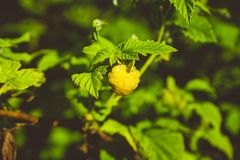Ripe raspberry in the garden. Shallow depth of field Stock Photo