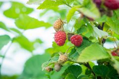 Ripe raspberry in the garden. Shallow depth of field Royalty Free Stock Images