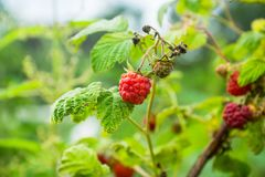 Ripe raspberry in the garden. Shallow depth of field Royalty Free Stock Photos