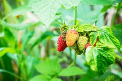 Ripe raspberry in the garden. Shallow depth of field Stock Photos