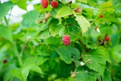Ripe raspberry in the garden. Shallow depth of field Stock Photography
