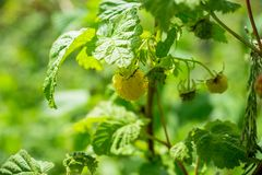Ripe raspberry in the garden. Shallow depth of field Stock Image