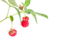 Ripe raspberry and green berries Royalty Free Stock Photo