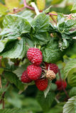 Ripe raspberry Stock Photo