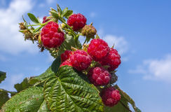Ripe raspberry on a green bush Royalty Free Stock Photo