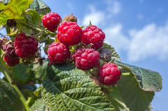 Ripe raspberry on a green bush against the sky with clouds Stock Images
