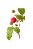 Ripe raspberry with green leaf Royalty Free Stock Photo