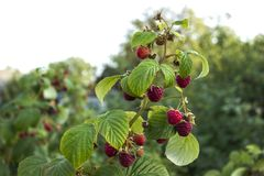 Ripe raspberry hanging from a branch in the garden, tasty. And healthy red berries Stock Image