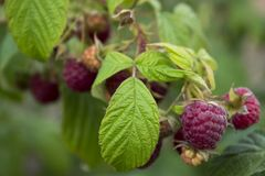 Ripe raspberry hanging from a branch in the garden, tasty. And healthy red berries Stock Photo