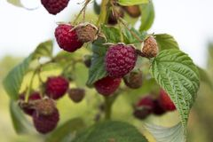 Ripe raspberry hanging from a branch in the garden, tasty and healthy. Red berries Royalty Free Stock Photo