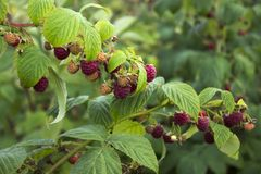 Ripe raspberry hanging from a branch in the garden, tasty. And healthy red berries Royalty Free Stock Images