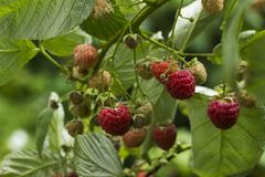 Ripe raspberry hanging from a branch in the garden, tasty and healthy. Red berries Royalty Free Stock Photography