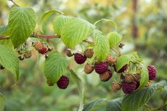 Ripe raspberry hanging from a branch in the garden, tasty. And healthy red berries Royalty Free Stock Photo