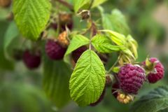 Ripe raspberry hanging from a branch in the garden, tasty. And healthy red berries Stock Images