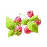 Ripe raspberry illustration Stock Photography