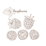 Ripe raspberry with leafs on the white background. Doodle style Royalty Free Stock Photography
