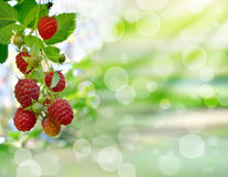 Ripe raspberry on natural background. Close-up. Boke. Royalty Free Stock Photos