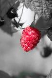 Ripe raspberry one Royalty Free Stock Photos