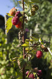 Ripe Raspberrys in a country garden on a  summer morning . Stock Images