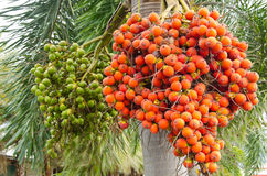 Ripe and Raw Betel Nut Or Areca Nut Palm Royalty Free Stock Photography