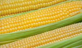 Ripe, raw corn on the cob close-up lying on green leaves. Collect corn crop royalty free stock photography