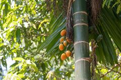 Ripe and Raw fruit of the areca palm background royalty free stock image
