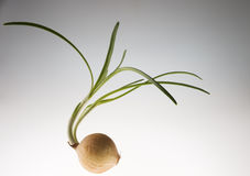 Ripe raw  onion with green fresh sprouts Stock Image